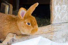 Coniglio rosso sull'azienda agricola Concetto di zootecnia, famiglia, carne organica, vita del villaggio Fotografia Stock