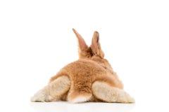 Coniglio rosso, vista posteriore Fotografia Stock