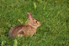 Coniglio selvaggio Fotografie Stock
