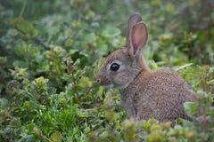 Coniglio selvaggio Immagini Stock Libere da Diritti