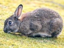Coniglio selvaggio che mangia erba in natura Fotografia Stock