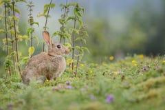 Coniglio selvaggio che si nasconde dietro le ortiche Fotografia Stock Libera da Diritti