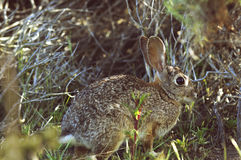 Coniglio selvaggio che si siede in un'erba Fotografie Stock