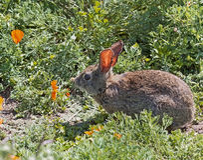 Coniglio selvaggio della spazzola del silvilago nell'erba di primavera Fotografia Stock