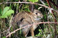 Coniglio selvaggio nell'erba Fotografia Stock