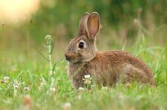 Coniglio selvaggio piacevole Fotografia Stock