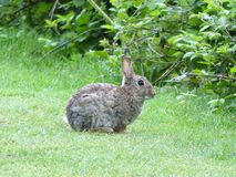 Coniglio selvaggio sul terreno comunale di Chorleywood fotografie stock libere da diritti