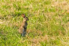 Coniglio selvaggio sull'allarme Fotografia Stock Libera da Diritti