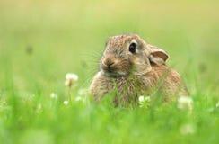 Coniglio selvaggio timido Fotografie Stock