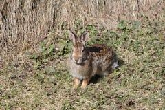 Coniglio, silvilago orientale Fotografia Stock
