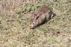 Coniglio, silvilago orientale Fotografia Stock Libera da Diritti