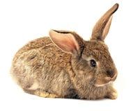 Coniglio sonnolento isolato Fotografie Stock