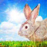 Coniglio su un'erba verde contro il cielo soleggiato Fotografie Stock Libere da Diritti