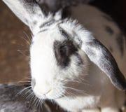 Coniglio sull'azienda agricola Fotografia Stock Libera da Diritti