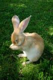 Coniglio sveglio che lava il suo fronte Fotografia Stock