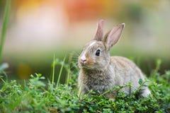 Coniglio sveglio che si siede sulla caccia verde del prato della molla del campo/coniglietto di pasqua per il festival su erba immagine stock