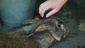 Coniglio sveglio grigio video d archivio