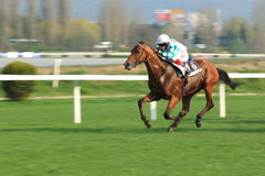Coniglio Thomas nella corsa di cavalli a Praga fotografie stock