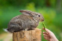 Coniglio timido sveglio del bambino Animale d'alimentazione Fotografie Stock Libere da Diritti