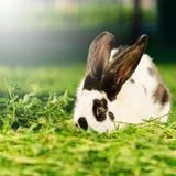 Coniglio variopinto che mangia erba - composizione quadrata Immagini Stock Libere da Diritti