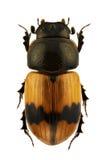 coniugatus aphodius Στοκ φωτογραφία με δικαίωμα ελεύθερης χρήσης