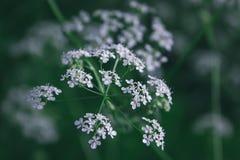 Conium maculatum Stockfotografie