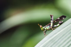 Conjoined Spot Monkey Grasshopper (Erianthus serratus). Can find in the forests of Thailand Royalty Free Stock Images