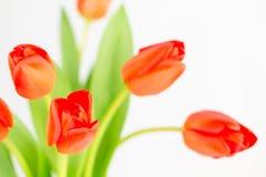 Conjunto alaranjado da tulipa Imagem de Stock Royalty Free
