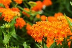 Conjunto alaranjado de flores Foto de Stock Royalty Free