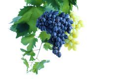 Conjunto azul e verde da uva com as folhas na videira foto de stock royalty free