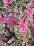 Conjunto bonito de folhas cor-de-rosa do Caladium Textura do fundo Fotografia de Stock Royalty Free