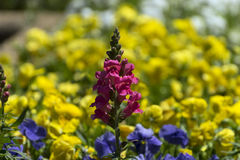 Conjunto cor-de-rosa de flores com o mar de flores amarelas atrás dele Imagem de Stock Royalty Free