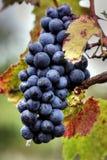 Conjunto da uva Imagens de Stock