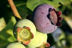 Conjunto da uva-do-monte na filial Imagens de Stock