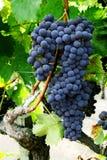 Conjunto da uva em uma videira Fotos de Stock Royalty Free