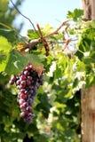 Conjunto da uva vermelha Imagem de Stock Royalty Free