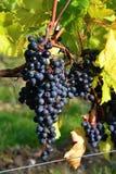 Conjunto da uva vermelha Imagem de Stock