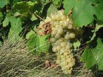Conjunto das uvas brancas Fotografia de Stock