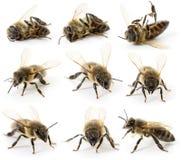 Conjunto de abejas Foto de archivo libre de regalías