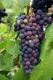 Conjunto de amadurecimento da uva Foto de Stock