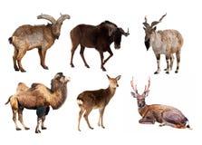 Conjunto de animales del mamífero del Artiodactyla imagenes de archivo