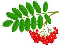 Conjunto de Ashberry com baga vermelha e a folha verde isoladas no fundo branco imagem de stock royalty free