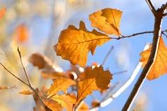 Conjunto de Autumn Leaves no ramo de árvore fotografia de stock royalty free