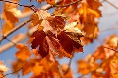 Conjunto de bordo alaranjado Autumn Leaves no ramo de árvore imagens de stock royalty free