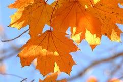 Conjunto de bordo alaranjado Autumn Leaves no ramo de árvore imagem de stock