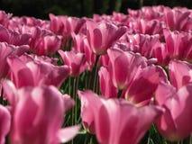 Conjunto de claro - tulipas cor-de-rosa fotos de stock royalty free