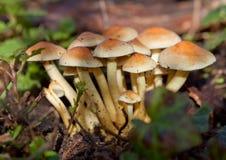 Conjunto de cogumelos selvagens Imagens de Stock
