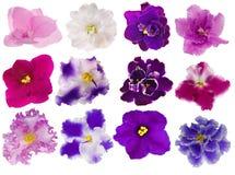 Conjunto de doce violetas aisladas Foto de archivo libre de regalías