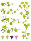 Conjunto de elementos del diseño de las vides de uva. Imagenes de archivo