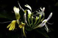 Conjunto de flor bonito da madressilva fotos de stock
